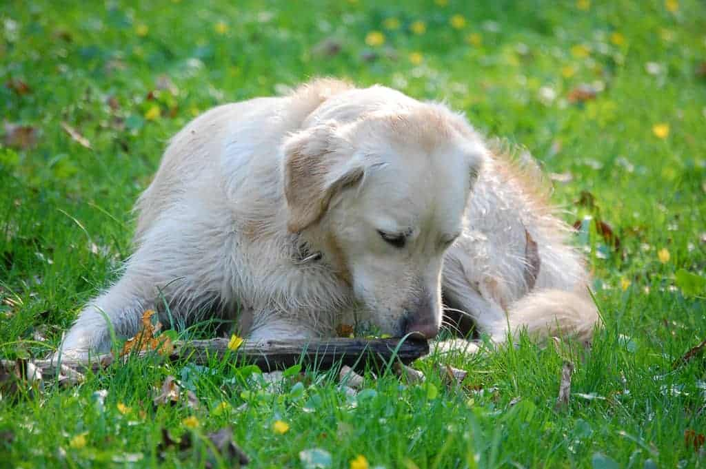 Can Food Allergies In Dogs Cause Lumps
