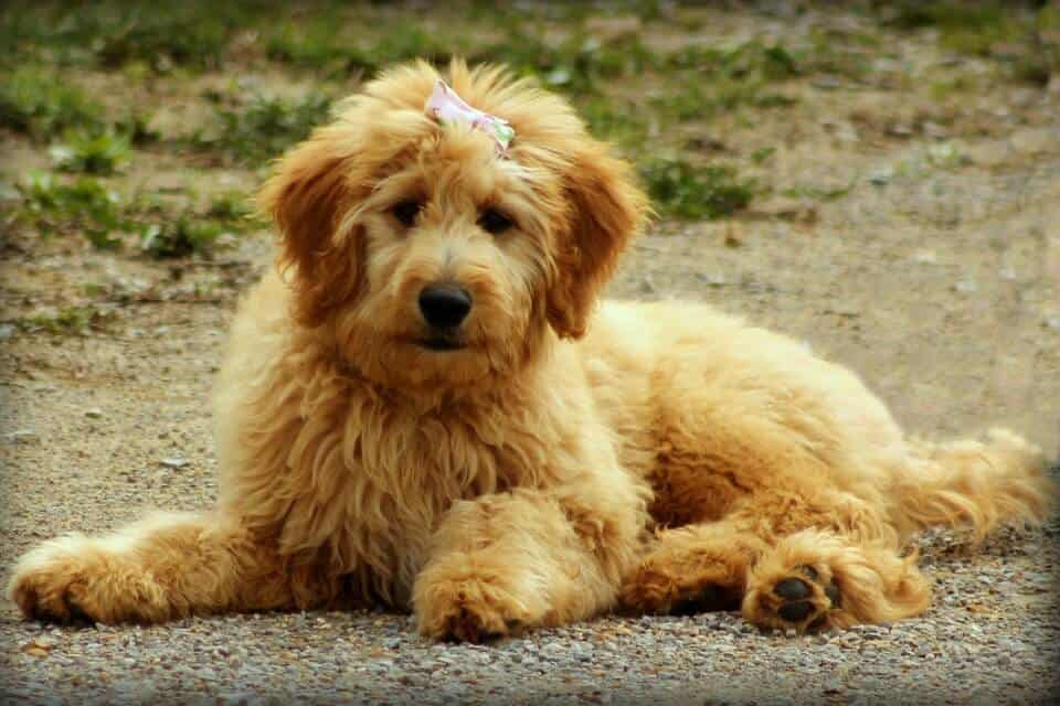 goldendoodle-food