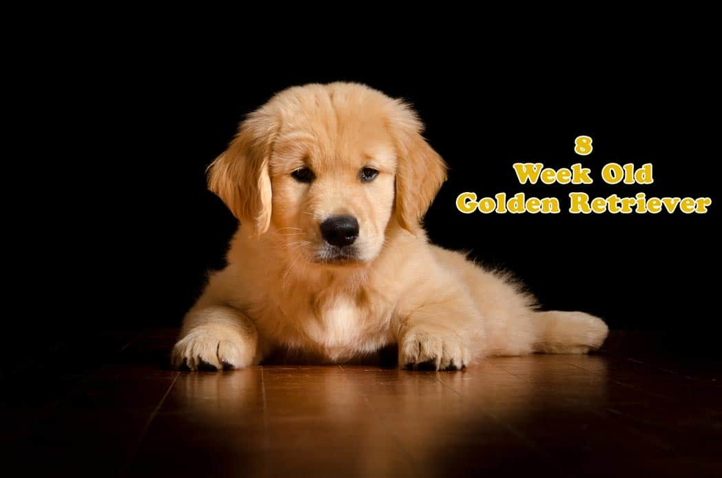 How to Take Care of an 8 Weeks Old Golden Retriever