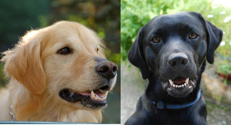 Labrador Retriever Vs Golden Retriever Shaynedoro Goldens